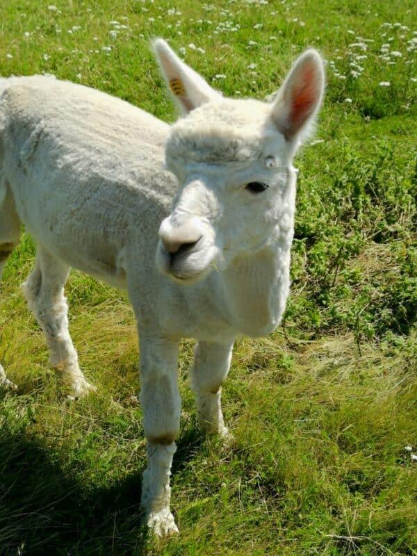 Das einzige Alpaka, das sich von uns gar nicht stören ließ am Rand des Zaunes