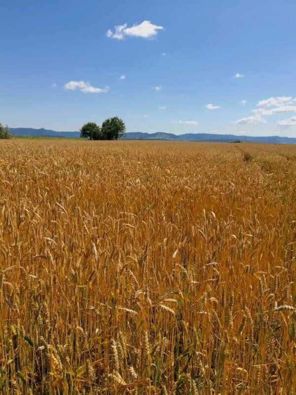 Weizenfeld mit Aussicht